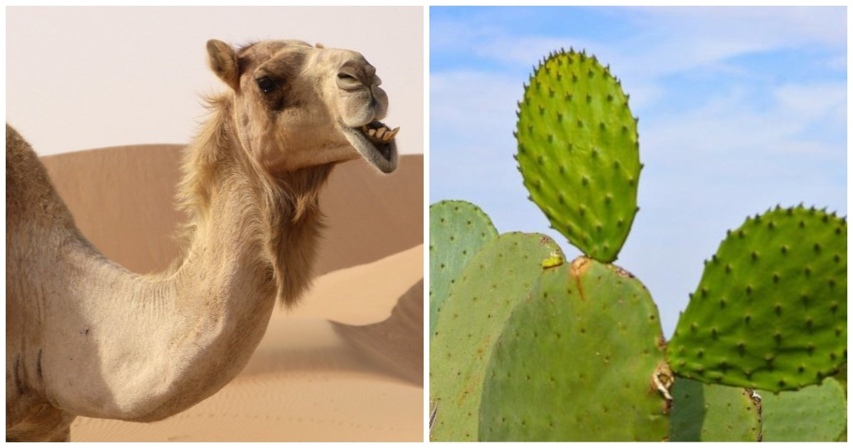 layout 2018 6 4 5.jpg?resize=636,358 - Camel Chewing Cactus Like It's Chewing Gum.. With All These Sharp Thorns On It