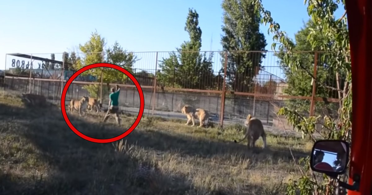 lion.png?resize=1200,630 - Zoo Keeper Sends Aggressive Lions Scampering Away In Fear Using Just His SLIPPER