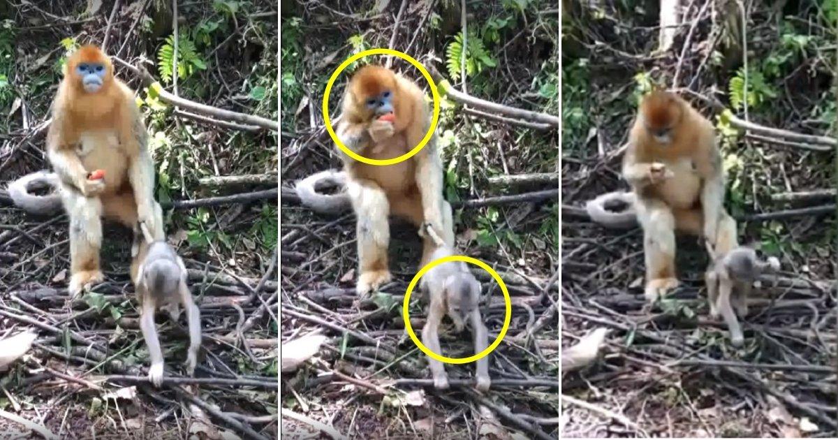 m1 side.jpg?resize=366,290 - Cooly, la maman singe tient la queue de son bébé impatient en mangeant une pêche