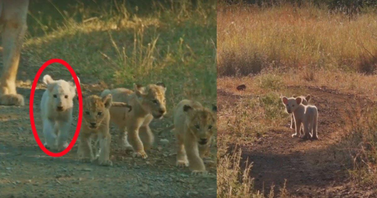 man saw the lioness walking with cubs then he saw one of the cubs was white he starts filming this rare sight.jpg?resize=300,169 - Un fotógrafo capturó el momento en el que una leona paseaba con sus cachorros... ¡Y uno de ellos era de una rarísima especie de león blanco!