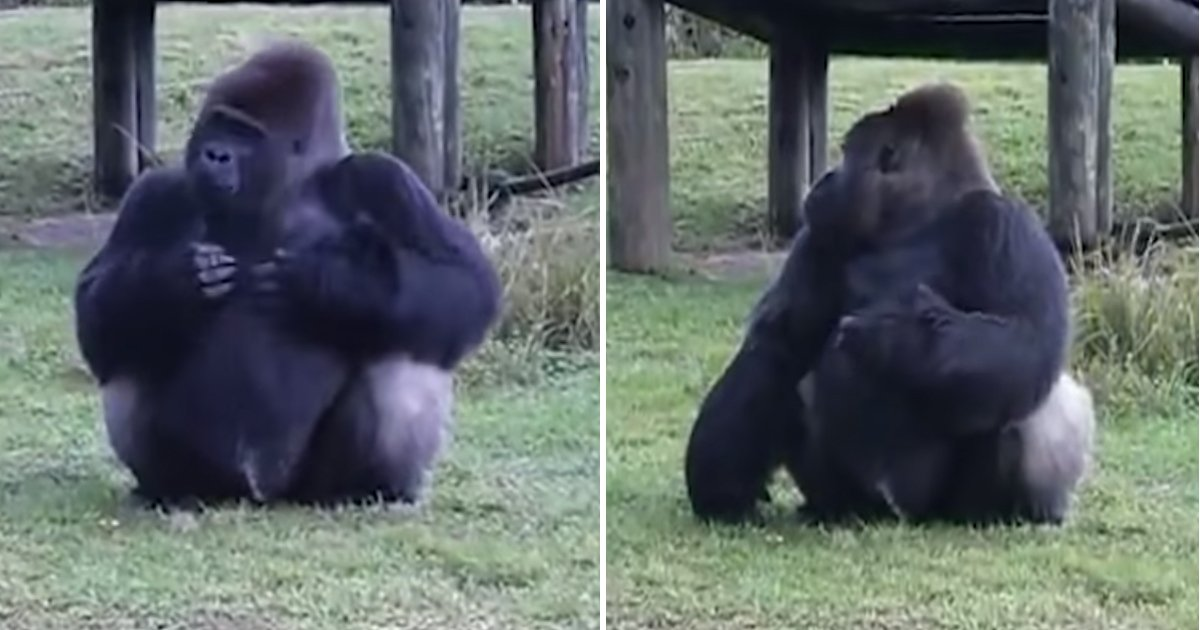 not looking.jpg?resize=636,358 - Gorilla Uses Sign Language To Tell People He's Not Allowed To Be Fed. Then Hilariously Breaks The Rules When His Trainer Is Not Looking