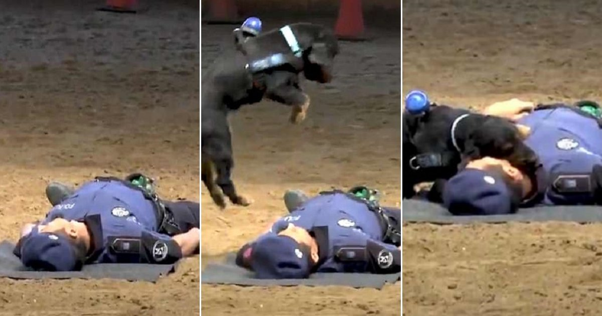 pdog.jpg?resize=636,358 - This Police Dog Never Hesitate To Save His Handler By Performing CPR!