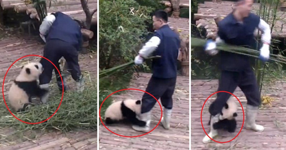 pic copy 4 2.jpg?resize=1200,630 - Adorable Panda Cub Just Won't Let Zoo Worker Work As It Clings Lovingly To His Legs
