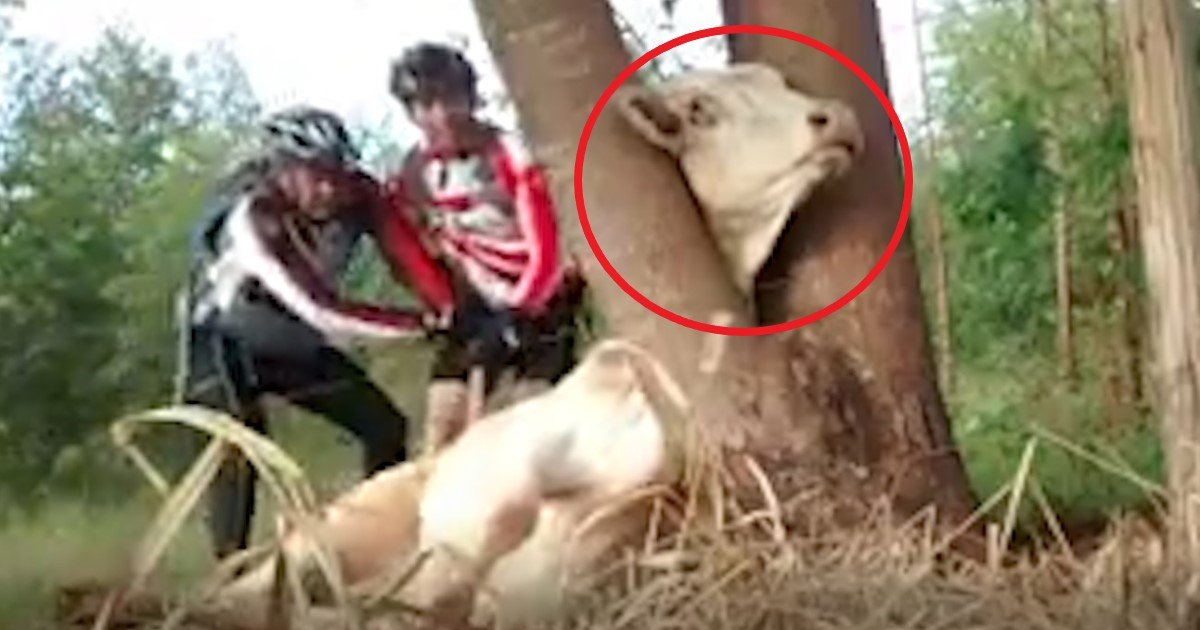 pic copy 9.jpg?resize=1200,630 - Une vidéo de 2 cyclistes sauvant une vache coincée dans un arbre devient virale