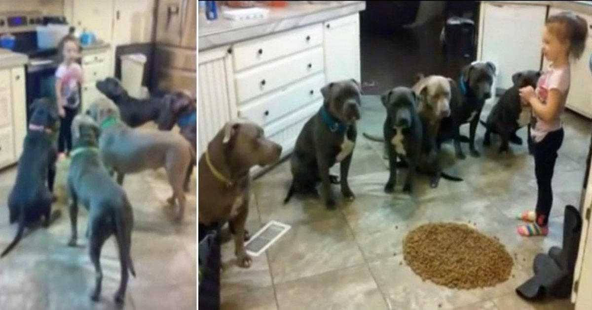 pitbulls.jpg?resize=636,358 - 4-Year-Old Little Girl Feeds 6 Pit Bulls And Shows Them Who Is Boss