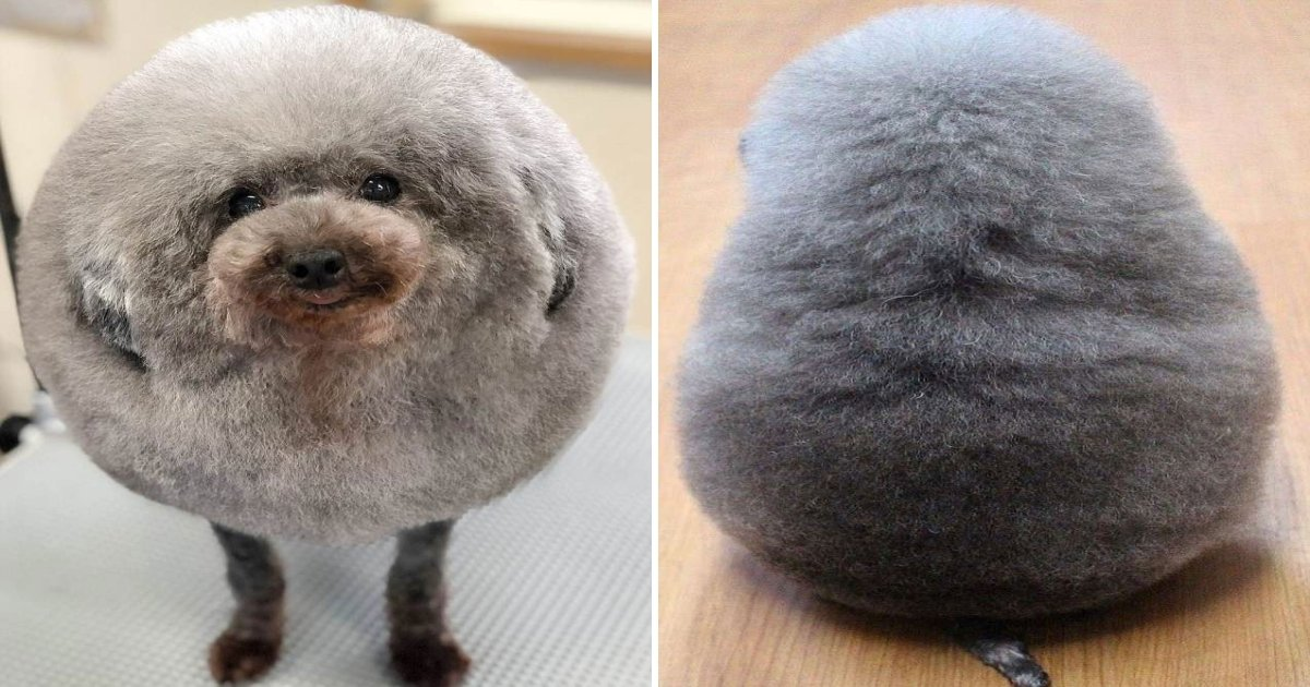 pup.jpg?resize=412,232 - A Dog Groomer Turned Adorable Pup Into 'Perfect Rounded Shape'