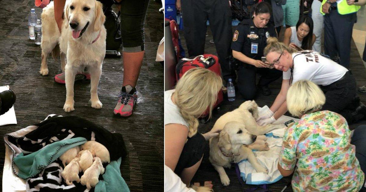 puppy birth airport.jpg?resize=412,232 - Une chienne d'assistance nommée Eleanor Rigby a donné naissance à huit mignons petits chiots au milieu de l'aéroport