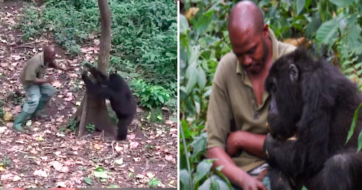 rtst.jpg?resize=636,358 - Rescued Gorillas won't Let the Man 'Run Away' - A Heartwarming Video Of A Beautiful Friendship!