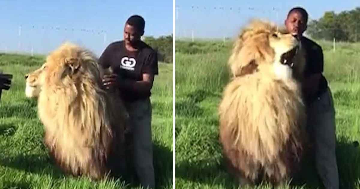 sdfadf.jpg?resize=412,232 - Incredible Moment Captured On Camera – Conservationist Cuddles And Strokes An Adult Male Lion In South Arica