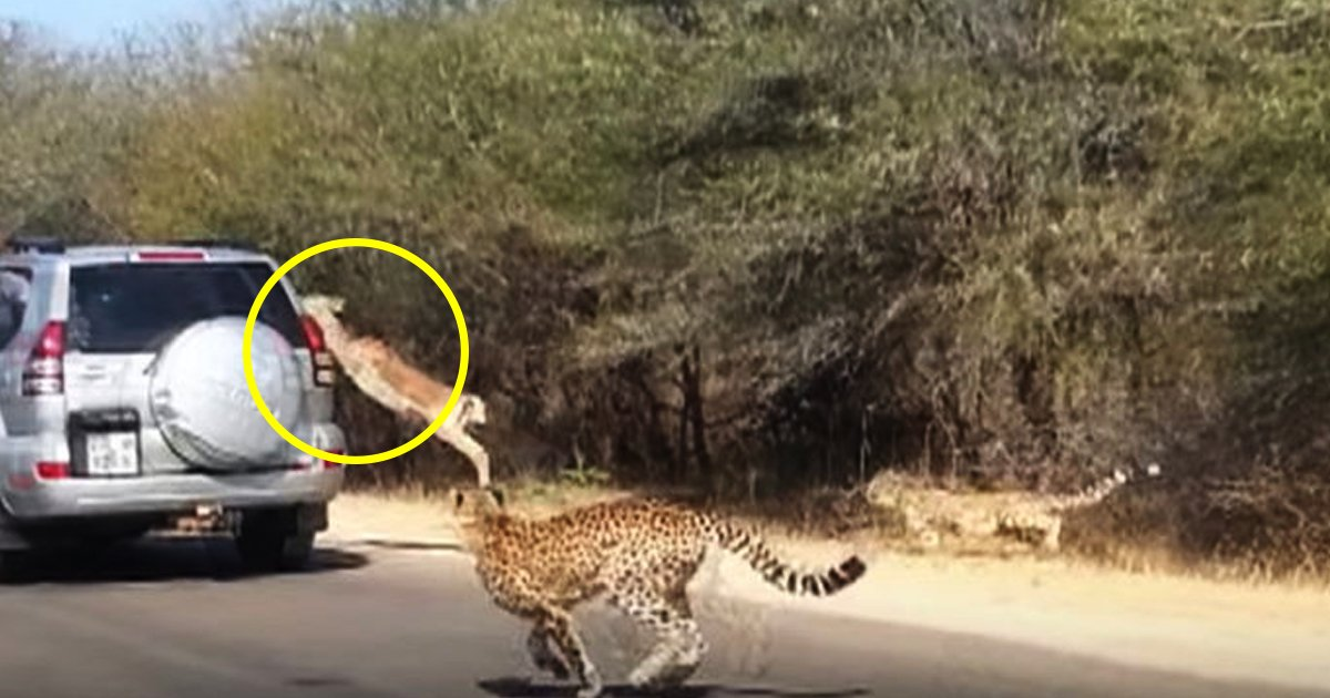 untitled 1 205.jpg?resize=636,358 - Antelope Jumps Into A Car To Flee From A Cheetah Chasing After It