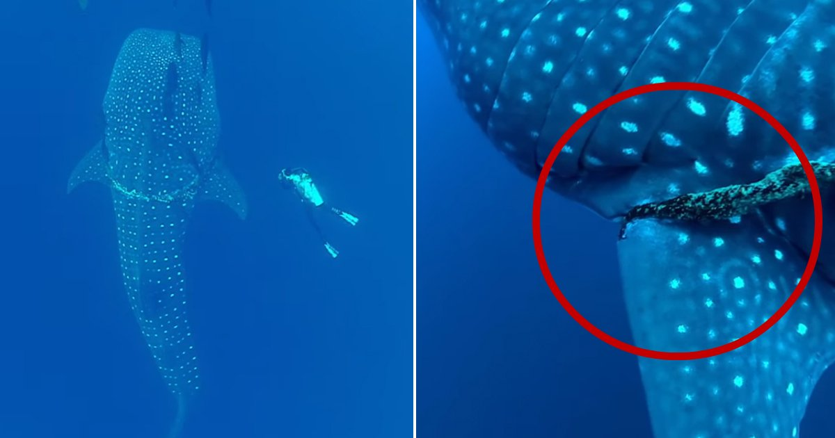 whale shark trapped.jpg?resize=636,358 - Diver Encounters A Massive Whale Shark Trapped In Fishing Rope, Not Knowing How It Would Respond