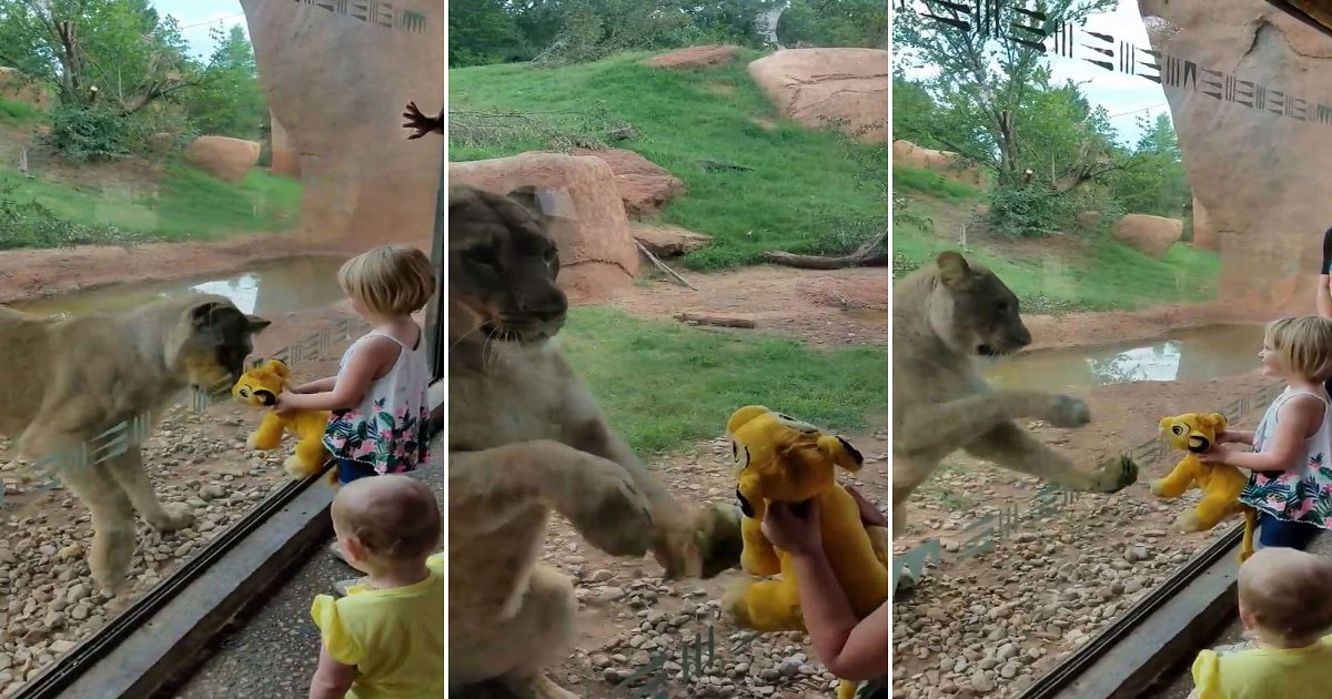 3333 1.png?resize=648,365 - Heart Breaking Moment Where Lioness Mistaken A Doll For Her Separated Cub