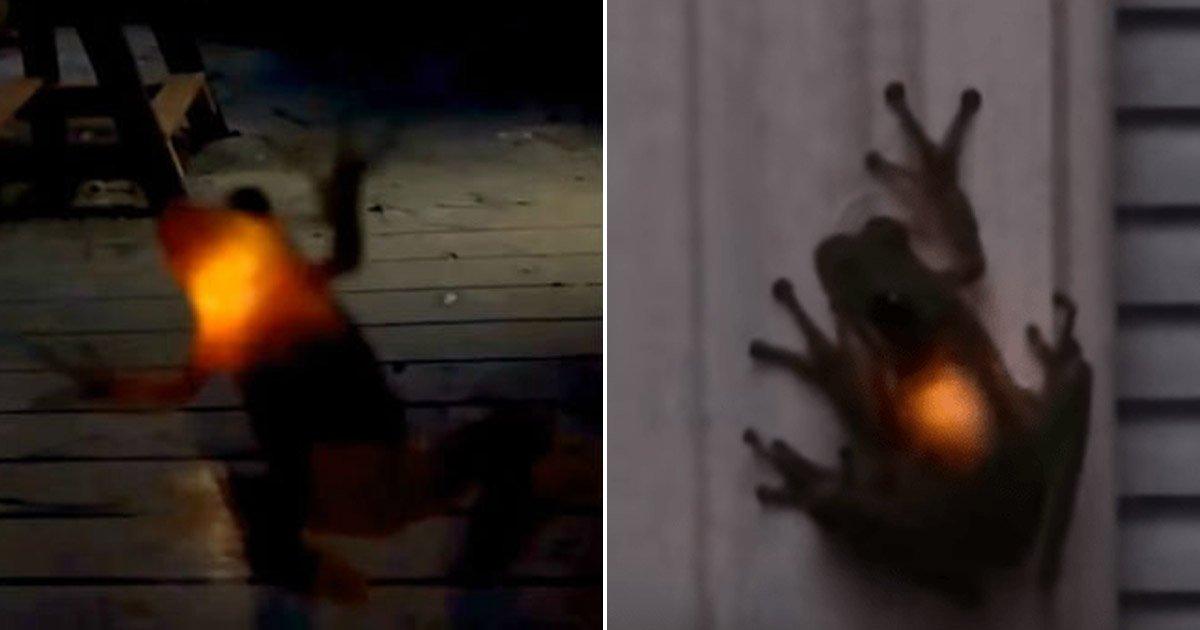 4 130.jpg?resize=300,169 - '몸이 빛나' ... 살아있는 반딧불이 '꿀꺽'한 개구리 (영상)