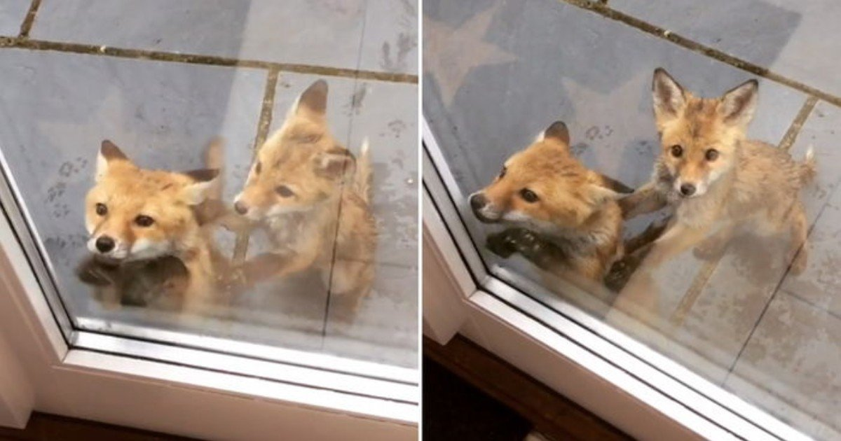 69uiv1un5469b6eda2xs 1.jpg?resize=1200,630 - Baby Fox Wanted To Come Into House To Avoid The Harsh Heat While The Other Fox Looked Like She Was Stopping Her Friend