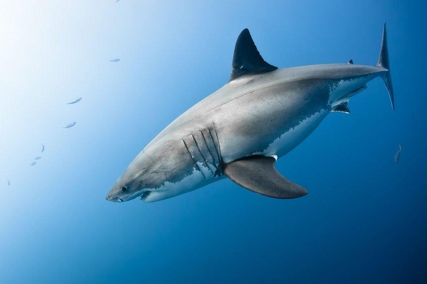 「サメ」の画像検索結果