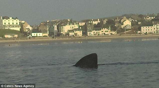 Basking sharks are the second-largest fish alive and grow as long as 32 feet