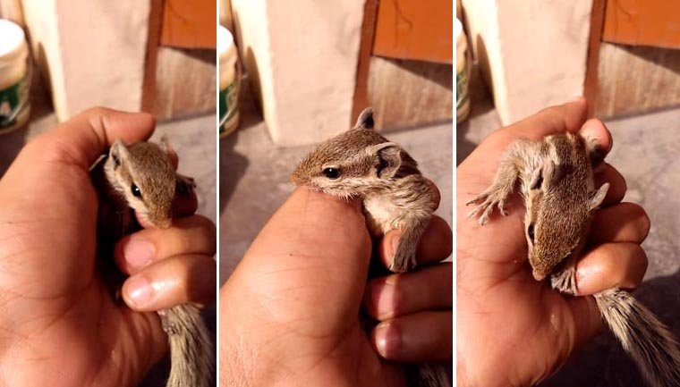 esquilo bebê