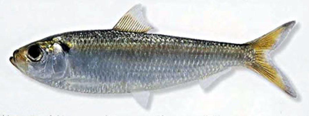 ままかり 魚에 대한 이미지 검색결과