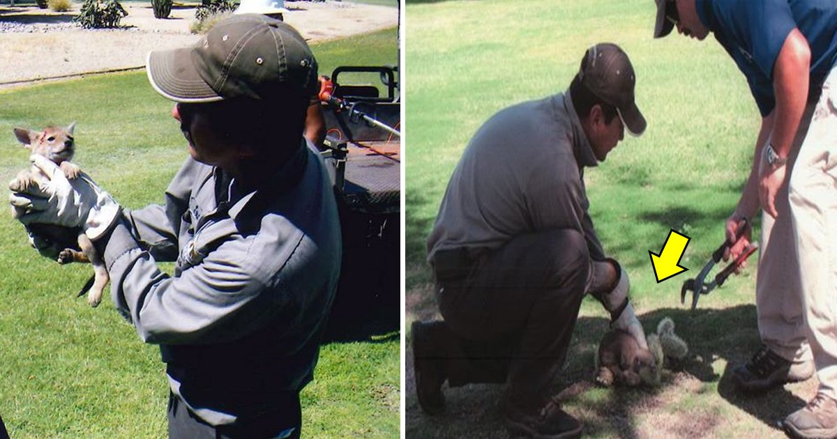 agaa.jpg?resize=636,358 - Coyote Pup Covered In Cacti Cries Out In Pain. Nearby Workers Grab Some Tools To Rescue The Pup