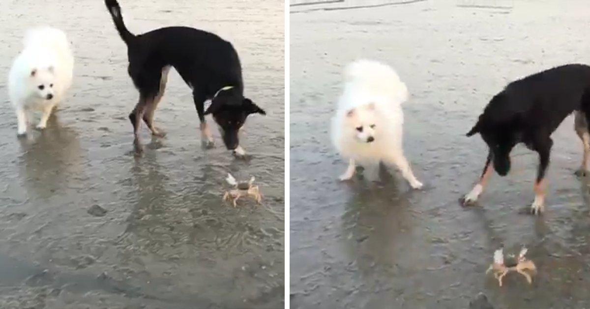 capax3.png?resize=1200,630 - O que é isso? Vídeo engraçado mostra dois cachorros com medo de um caranguejo