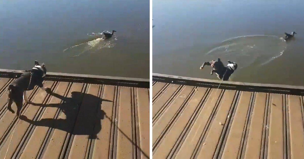 capax7.png?resize=1200,630 - Cachorro vê um pato pulando na água e decide fazer igual, mas o resultado é desastroso
