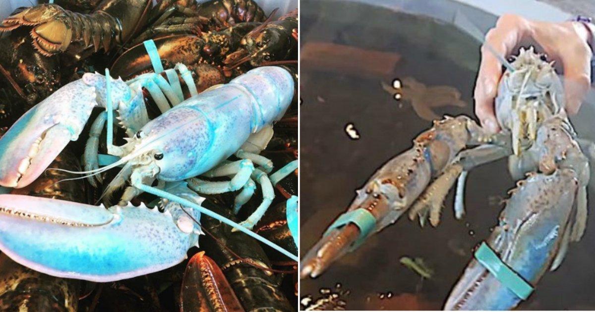 """cotton candy lobster.jpg?resize=1200,630 - """"Homard Barbe à Papa"""" - Pêché au large des côtes de l'île Grand Manan, il n'existe qu'un spécimen sur cent millions de ce spécimen !"""