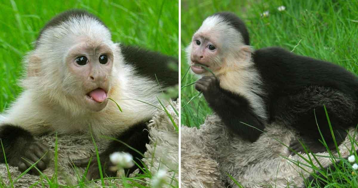 dasf.jpg?resize=412,232 - Des scientifiques participant à une expédition dans la forêt tropicale du Panama ont découvert un groupe de singes capucins utilisant des pierres comme outils