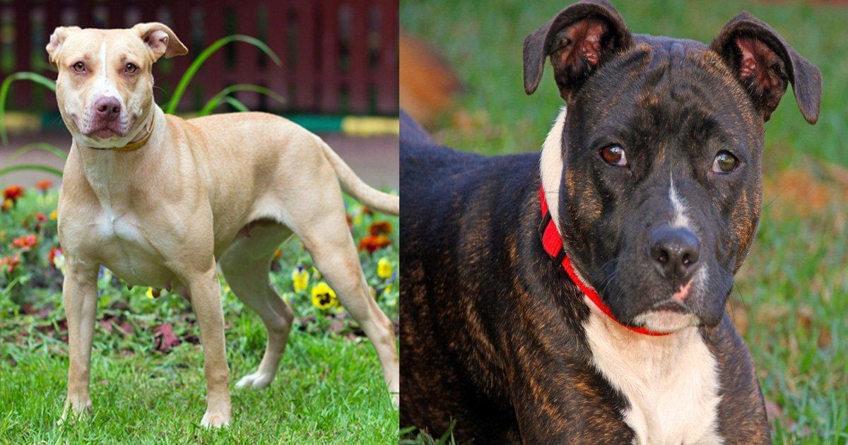gagaaa 1.jpg?resize=1200,630 - PETA demande d'ajouter le Staffordshire Bull Terriers à la loi sur les chiens dangereux, rejetée par le gouvernement britannique