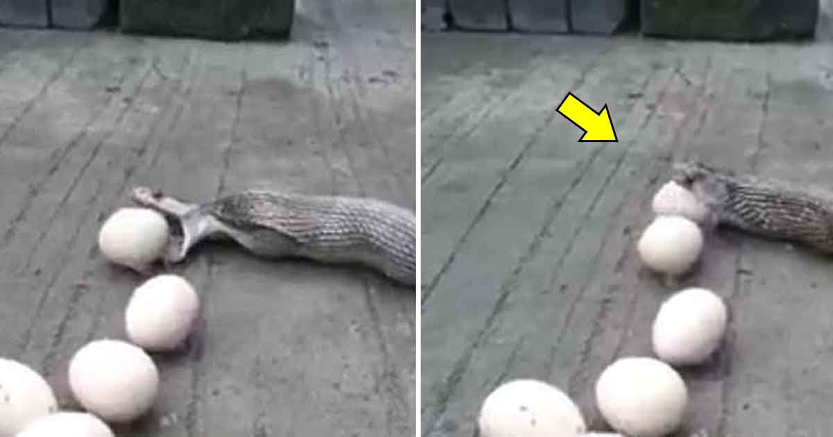 gagd.jpg?resize=412,275 - King Cobra Spit Out Nine Chicken Eggs After It Was Caught By A Snake Charmer