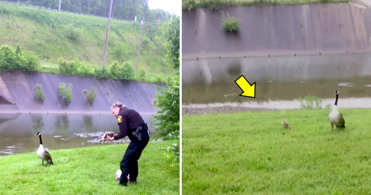 gah.jpg?resize=1200,630 - [Vidéo] Une oie vient chercher l'aide d'un policier pour sauver son petit.