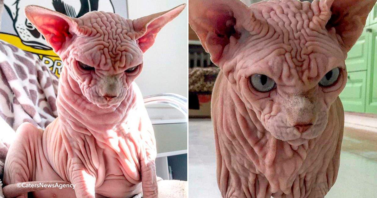 gato.jpg?resize=1200,630 - Xherdan, uma gato Sphynx, ganha milhares de fãs por sua pele enrugada e sua permanente carranca