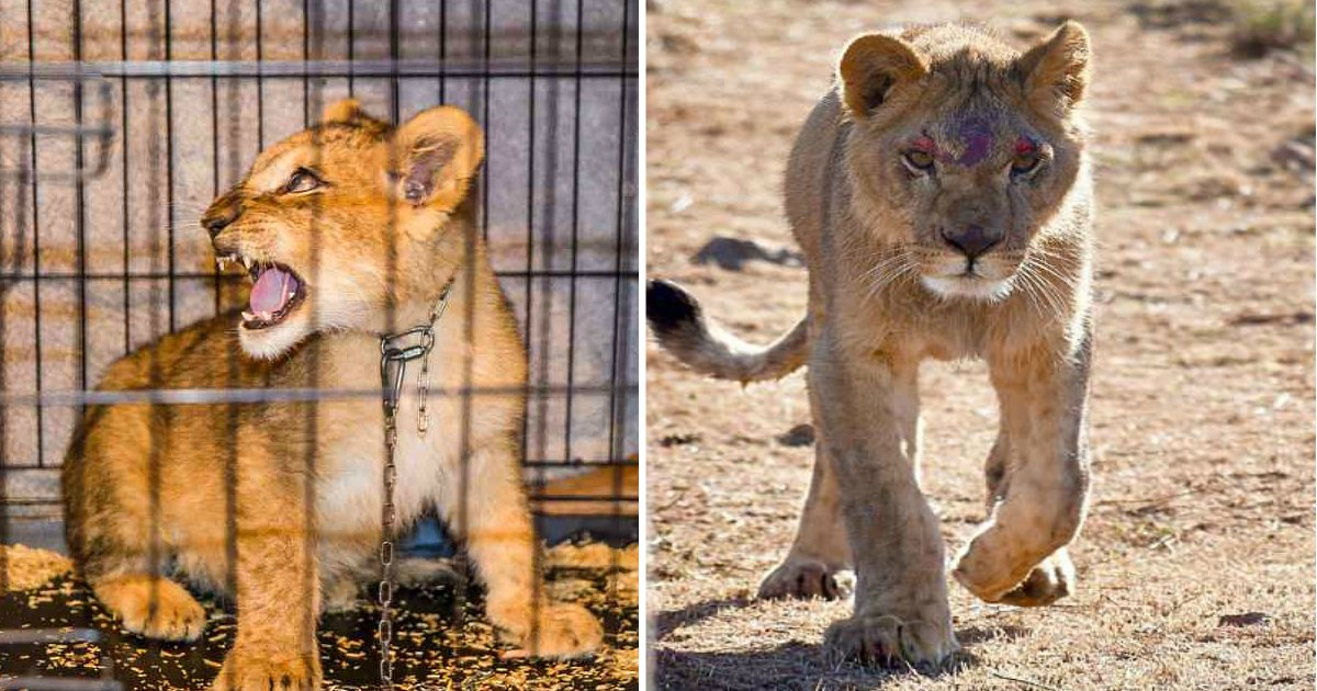 lion king.jpg?resize=636,358 - Starved Lion Cub Caged And Beaten In Tiny Parisian Flat Becomes Proud King Of The Savannah