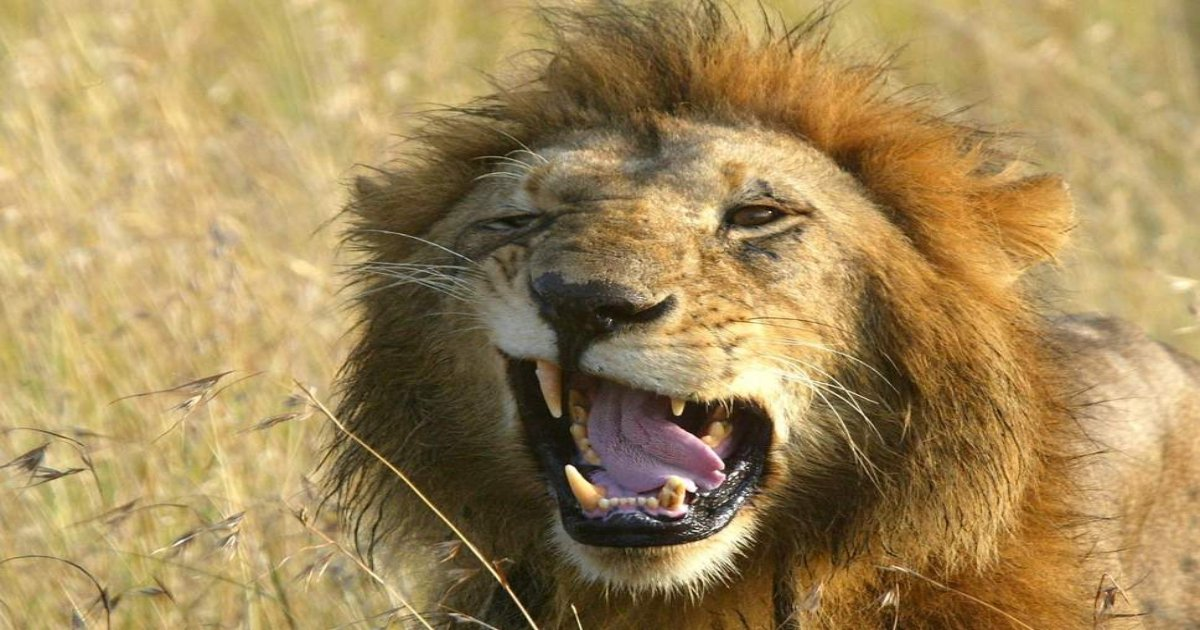 lion.jpg?resize=412,275 - Three Poachers Sneaked Into Nature Reserve And Were Eaten By A Pride Of Hungry Lions