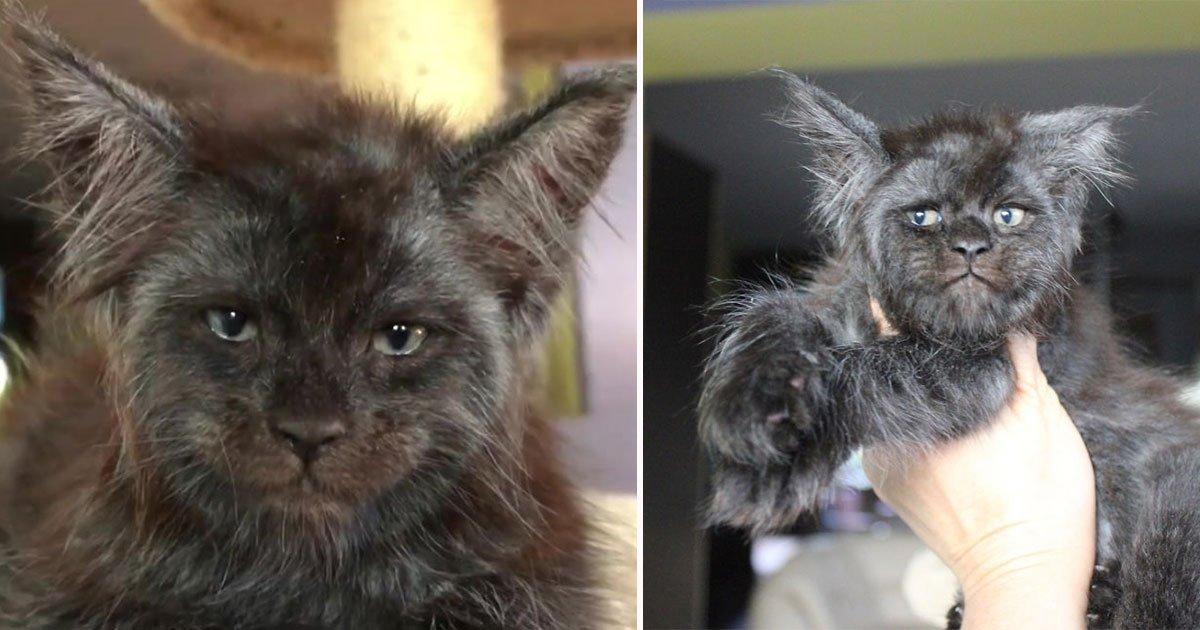 maine koon kitten human like face featured.jpg?resize=636,358 - Ce chaton «Maine Coon» avec un visage humain est devenu viral