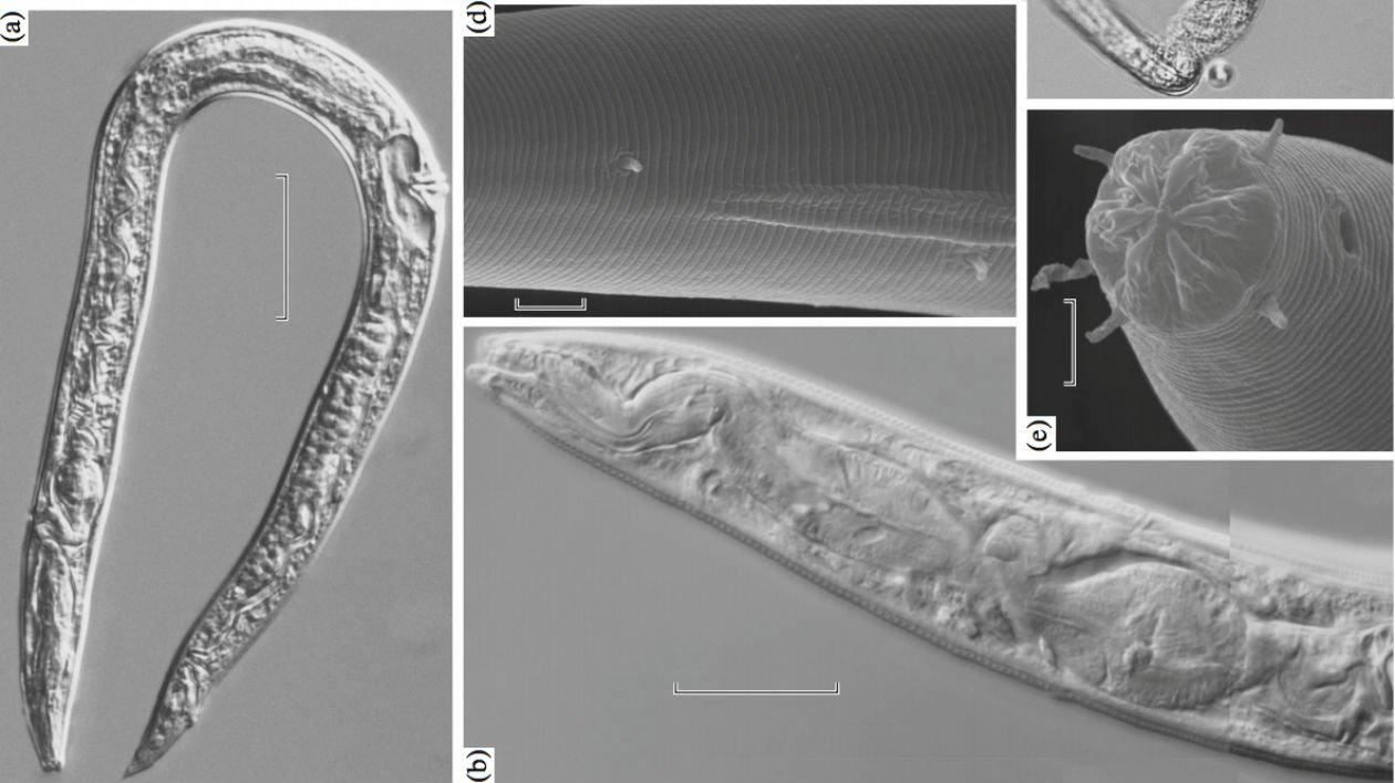 nematodos.jpg?resize=300,169 - Cientistas russos alegam ter ressuscitado vermes de 40 mil anos de idade que estavam escondidos no gelo
