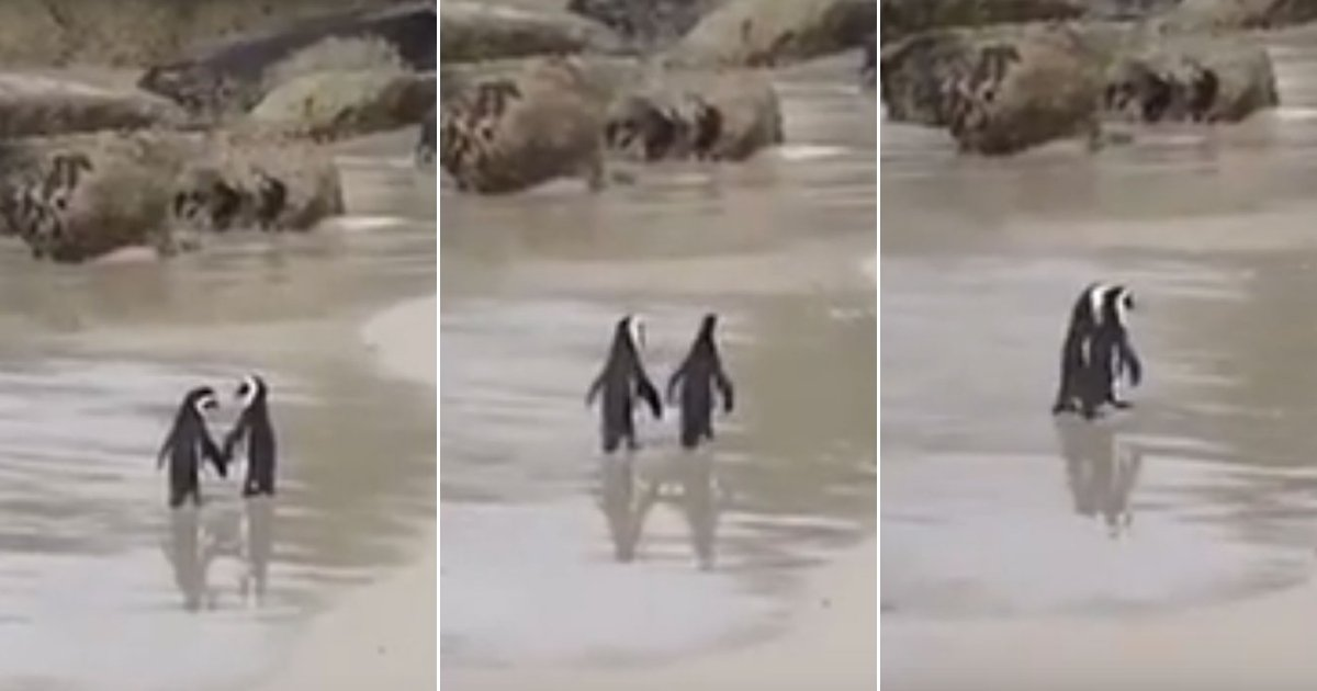 pen.jpg?resize=412,275 - Madly In Love: Penguin Couple 'Holding Hands' While Strolling On A Beach