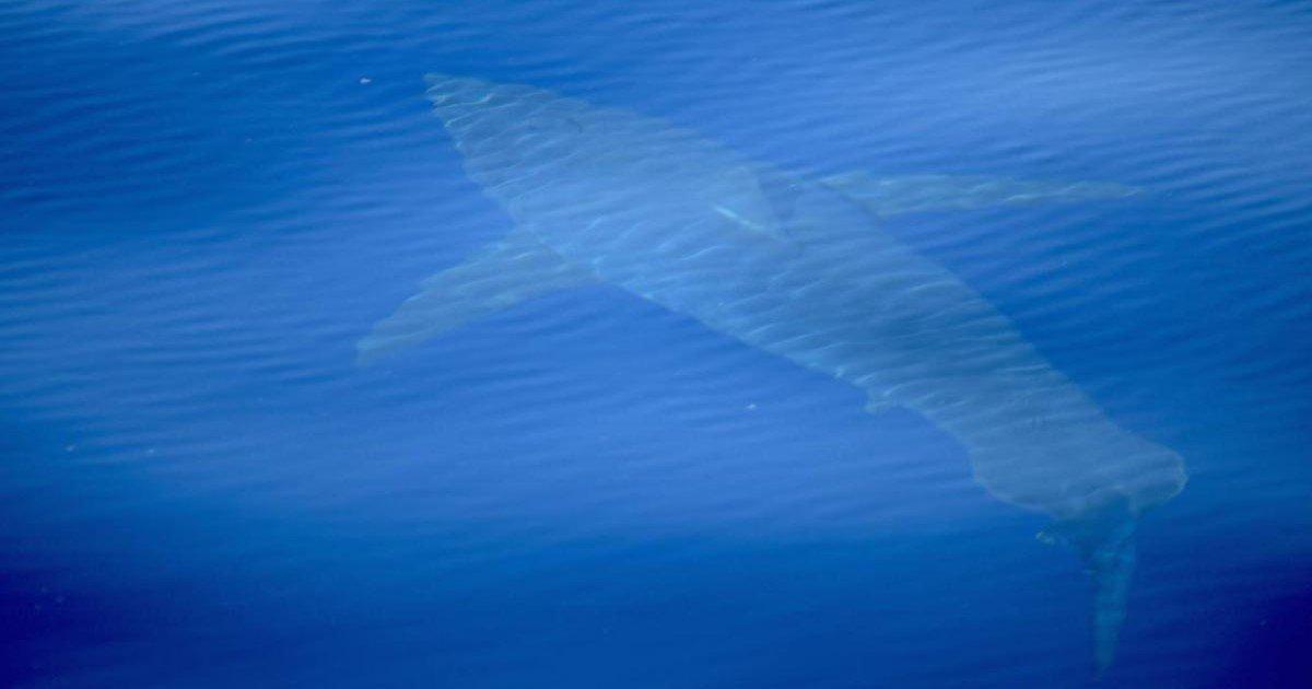 pic copy 5.jpg?resize=412,232 - Des images incroyables montrent le premier grand requin blanc observé dans les eaux espagnoles depuis 30 ans