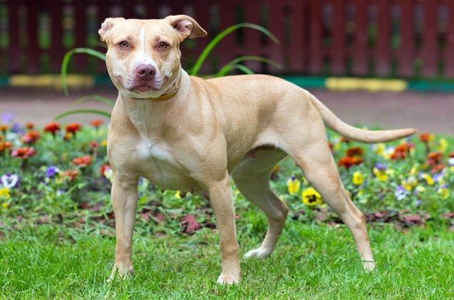 Américain Pit Bull Terrier debout
