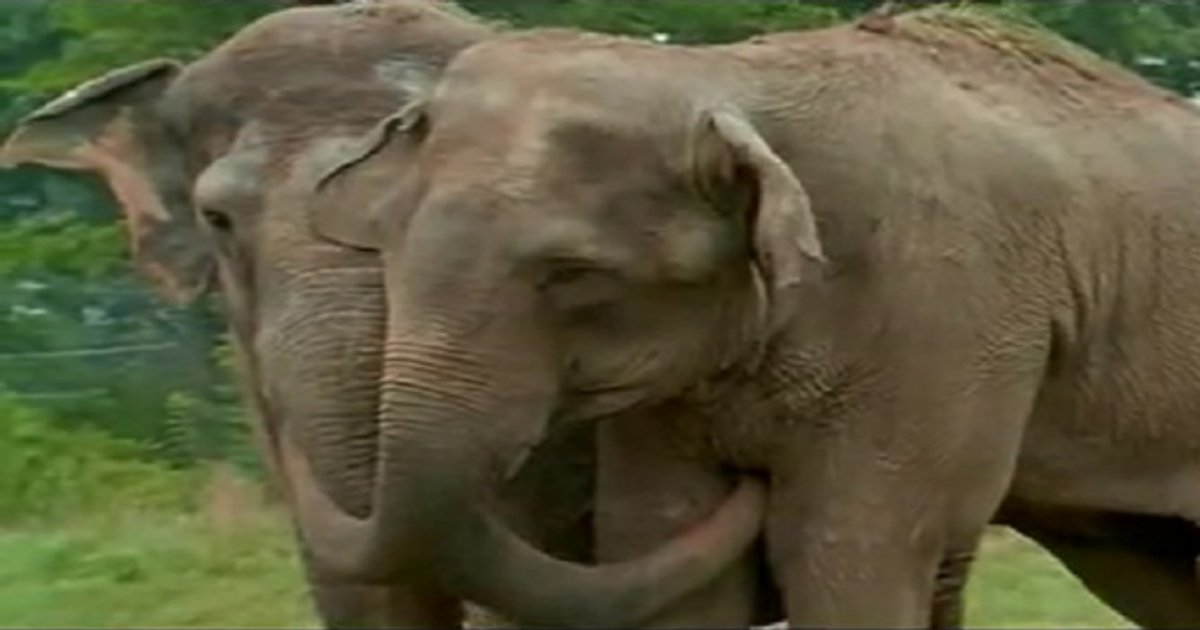 r5 1 2.jpg?resize=1200,630 - Touching Reunion Of Two Former Circus Elephants Who Got Separated 20 Years Ago