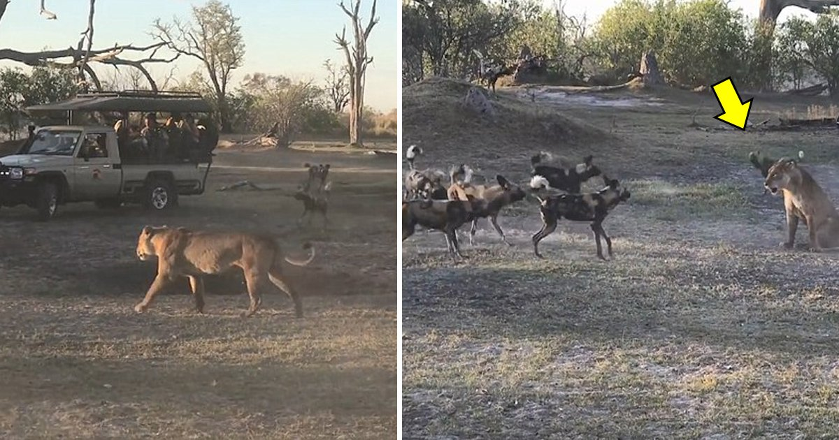 taga.jpg?resize=636,358 - Brave Lioness Invites The Pack Of Wild Dogs So That She Could Protect Her Cub