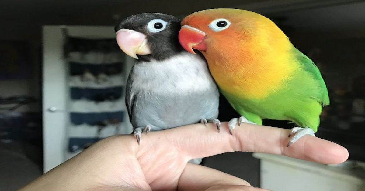 the internet fell in love with the story of the parakeet and his gothic girlfriend not to mention the children who came after wonderful 5b4d92b210dc1  700.jpg?resize=1200,630 - Kiwi And His Goth Girlfriend Just Had 4 Babies And Internet Is In Love