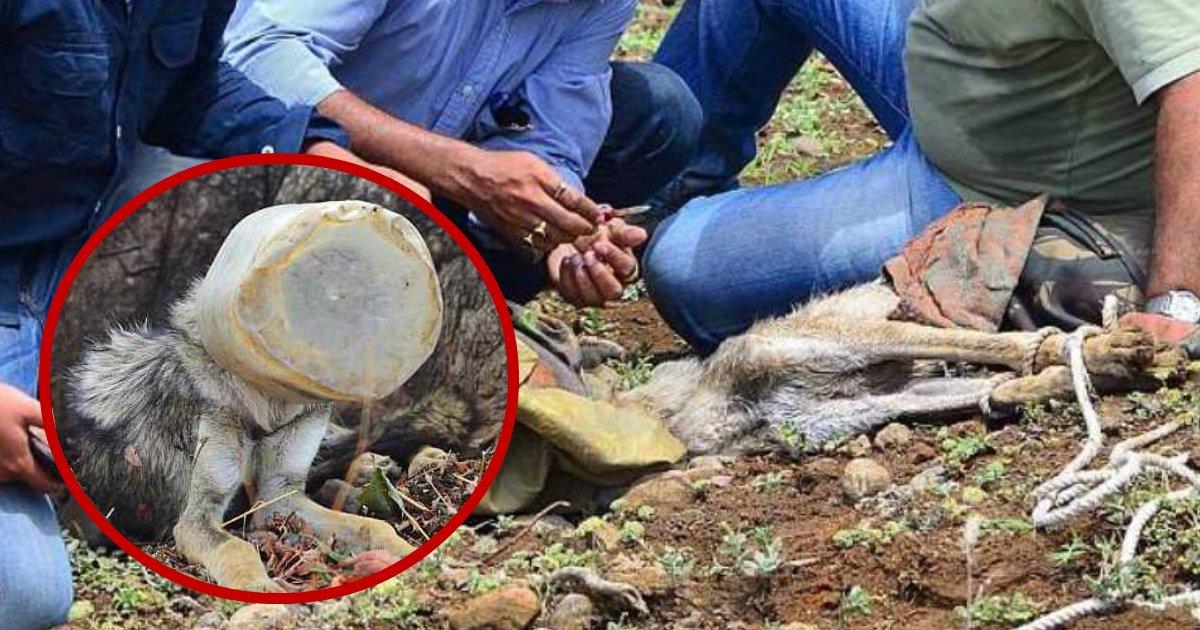 trapped wolf.jpg?resize=412,232 - Un loup affamé est sauvé de la mort après qu'un groupe d'amis l'ait trouvé avec sa tête emprisonnée dans un récipient