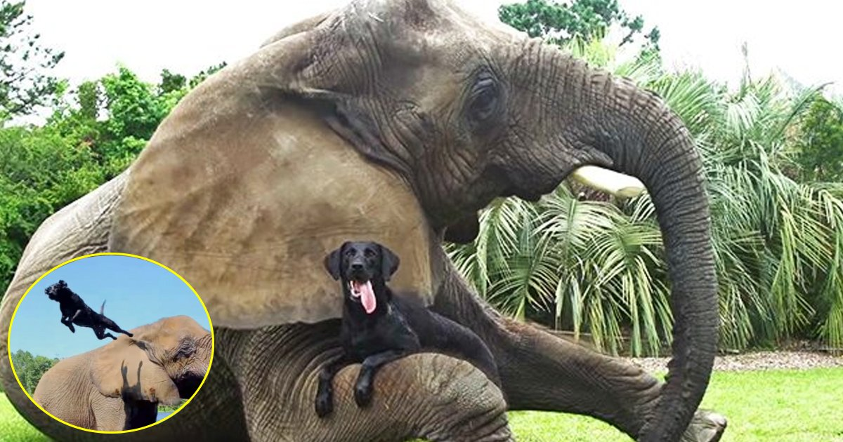 ttata.jpg?resize=1200,630 - A 9k Pound Elephant Plays With A Black Labrador; They Both Are The Biggest Example Of A Deep Friendship