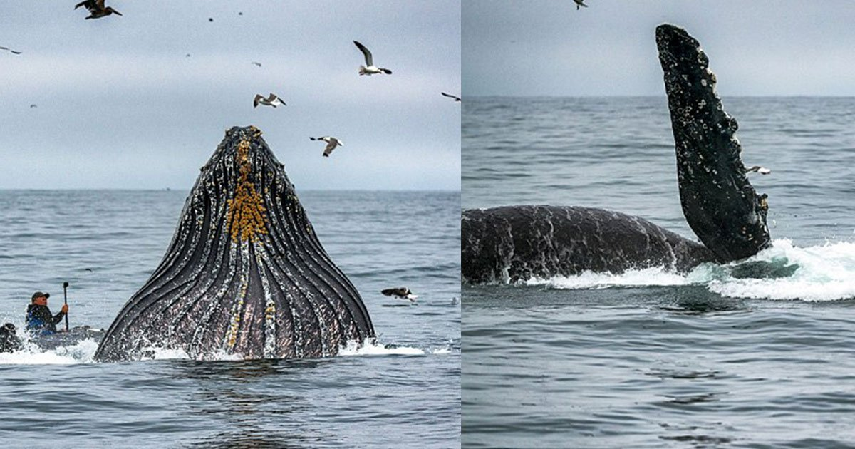 untitled 1 93.jpg?resize=636,358 - This Frightening Footage Shows A Huge Breaching Whale Comes Close To Kayaker