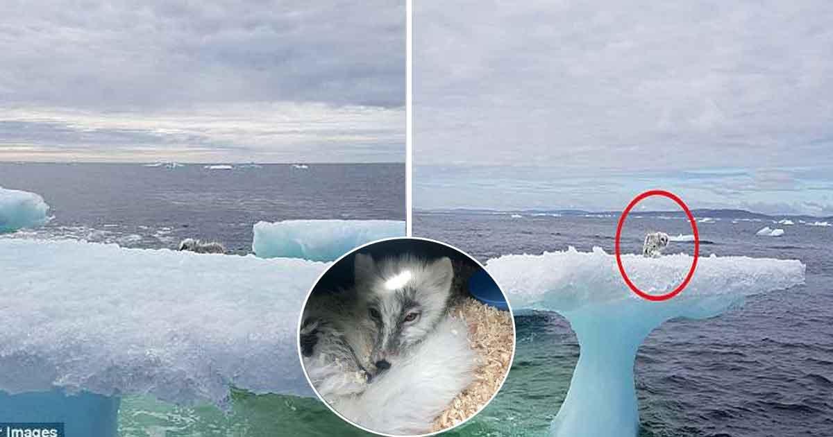 vaea.jpg?resize=412,232 - Un couple en balade découvre un renard arctique échoué sur un iceberg