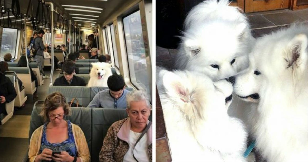 2 136.jpg?resize=1200,630 - 15+ Funny Photos Proving That Samoyeds Are Basically Fluffy Marshmallows