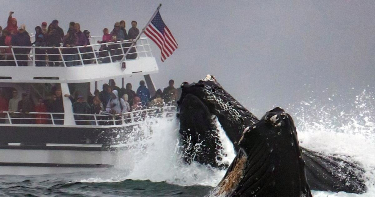 38774642 652737885112537 7888549145319833600 n.jpg?resize=412,232 - Les clichés de deux gigantesques baleines en train de se nourrir à proximité d'un bateau de touristes