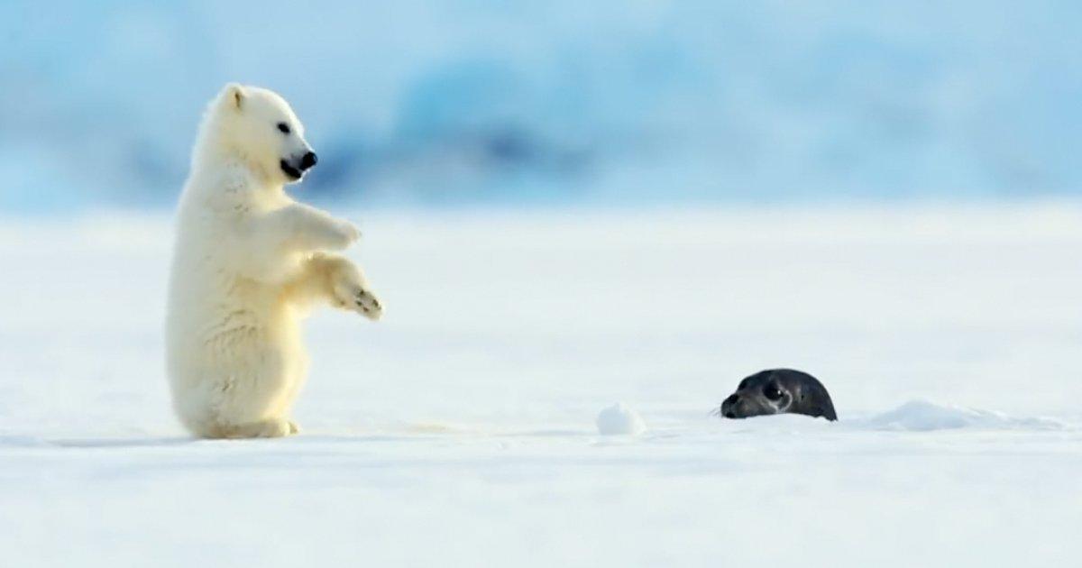 4 56.jpg?resize=412,232 - 난생 처음 물개 보고 놀라 '뒤로 넘어진' 아기 북극곰 (영상)