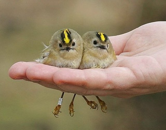 A handful of baby birds.