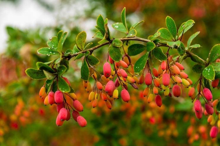 Red-barberry.jpg
